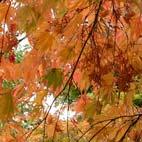 Avatar autumn leaves maple 142 square